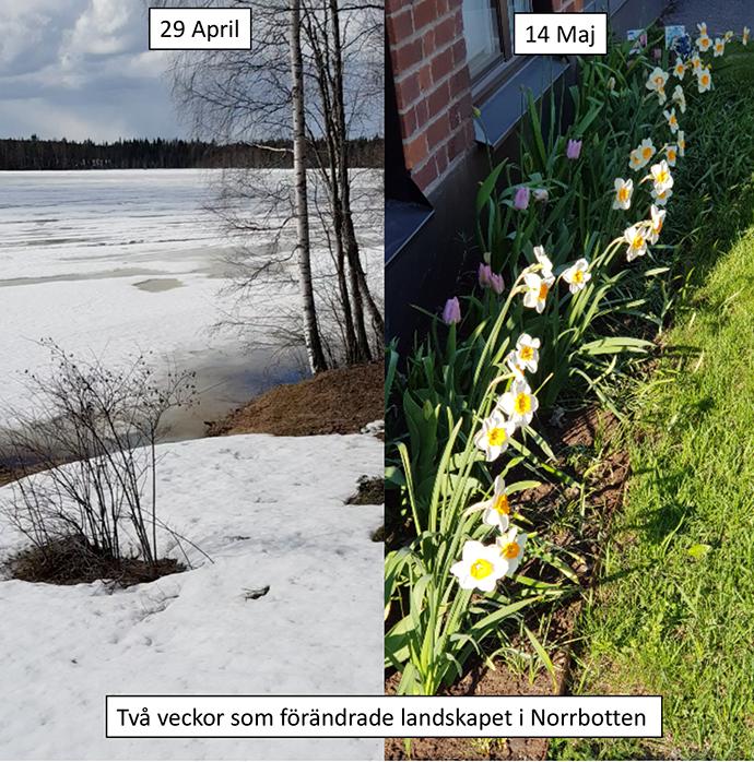 Vårexplosion i Norrbotten